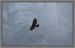 Golden Eagle (Cold Mountain) Tags: mountains alps eagle appenzell eos450d