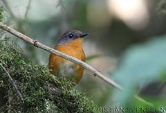 Equatorial Akalat (Sheppardia aequatorialis) (macronyx) Tags: africa bird nature birds wildlife birding aves uganda fbwnewbird fbwadded akalat equatorialakalat sheppardia sheppardiaaequatorialis
