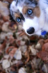 Mega Cute Pixel (Back in the Pack) Tags: blue portrait dog white calgary fall dogs leaves puppy outdoors corgi eyes pixel cardiganwelshcorgi blueribbonwinner dogdaycare wwwdogdaycareca 40d tamron1750mmf28 eos40d wwwbackinthepackca albertabarks