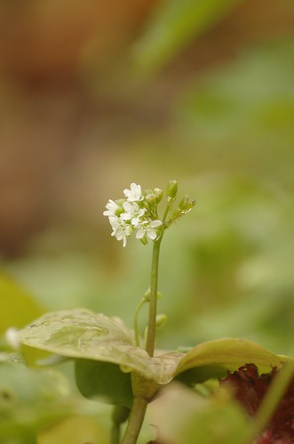 Claytonia perfoliata, Witte winterpostelein, Spring beauty
