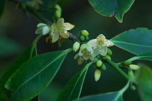 Cleyera japonica v. wallichiana by Eric in SF