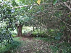 Hau tree covered bridge, Ho'omaluhia Botanical Garden, Kaneohe (Joel Abroad) Tags: tree garden botanical hawaii oahu kaneohe hibiscus mallow hau hoomaluhia tiliaceus