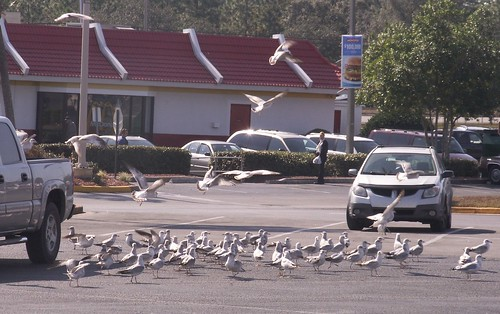 Gull Convention 3