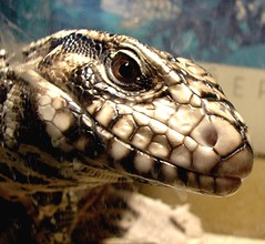 Tegu (EcoSnake) Tags: animals america south lizards reptiles herps tegu tupinambisteguixin
