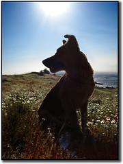 Perrito posero (Errlucho) Tags: chile costa sol contraluz amigo mar playa perro ocaso compaia baha atradecer ar1 errlucho