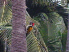 Golden backed woodpecker (VRKamath) Tags: lake birds woodpecker bangalore karnataka hesarghatta flamebacked