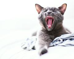 [フリー画像] [動物写真] [哺乳類] [ネコ科] [猫/ネコ] [子猫] [欠伸/あくび] [歌う]    [フリー素材]