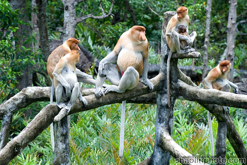 Proboscis Monkey Group