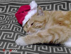 Buon Natale (derit) Tags: christmas red cat bed kitten feline gatos noel felino festa natale rosso gatto animali animale letto vacanze cappello