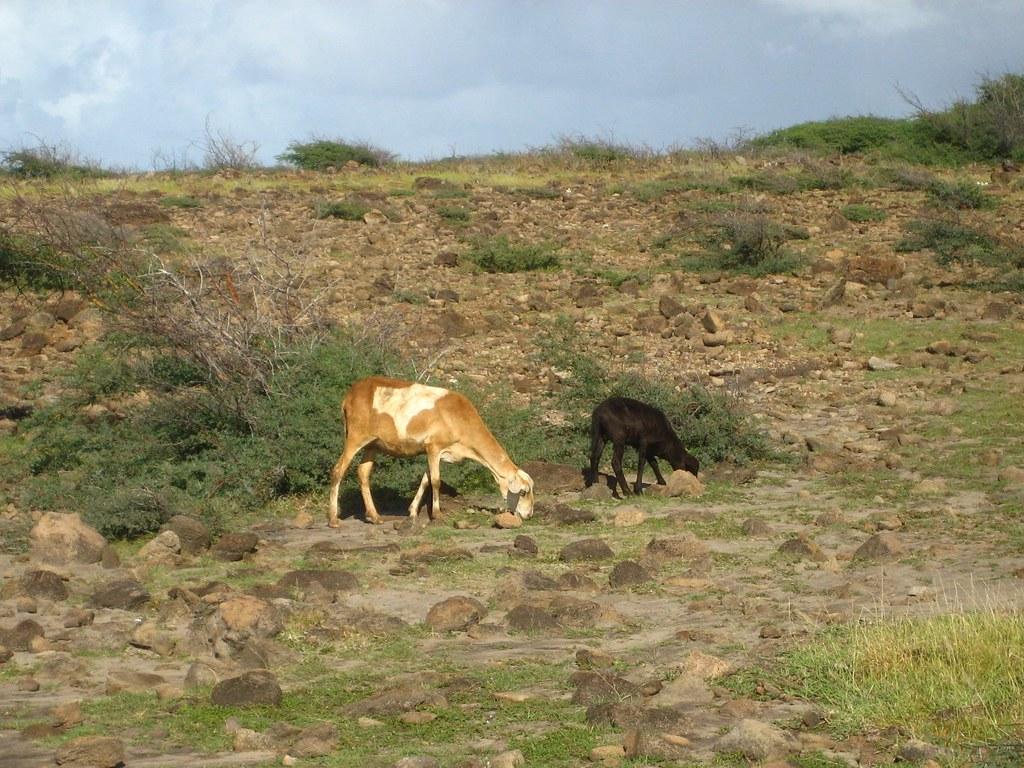 Nevis Sheep