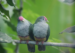 Quietly sitting together (~ Marjolein ~) Tags: birds zoo colorful artis rosecrownedfruitdove impressedbeauty quietlysittingtogether