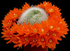ORANGE BEAUTY (fabiogis50) Tags: flowers cactus flower macro perception best chapeau fiori inspire soe breathtaking jol pictureperfect excellence iloveit naturesfinest thegoldengallery hiddentreasure cherryontop bloomingflowers supershot flowerscolors goldentreasure fantasticflower fineartphotos goldenmix mywinner royalgroup rebutiamuscula walkinginbeauty mycacti platinumphoto hugyourcacti fabulousflowers crystalaward flowersgroup diamondclassphotographer empyreanflowers ysplix macroaward theunforgettablepictures overtheexcellence goldsealofquality flckrblooms macromarvels theperfectphotographer kakteenmakro flickrroseawards dragongold macroflowerlovers wholelotofflowers astonishingflowers allkindsofbeauty ourmasterpieces thegoldenflower rubyphotographer llovemypics awesomeblossoms florcaule 100commentgroup simplythebest~flowers thefeelofphotography alittlebeauty mallmixstaraward naturescreations theflowerbasket dragondaggerphoto labellezzadellanatura flowersexcellentcloseups goldenart lizasenchantingphotogarden artfortheart tspf magicunicornmasterpiece vpu2