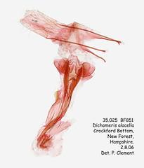 35.025  BF851 Dichomeris alacella_F (Patrick Clement.) Tags: moth slide microscope genitalia