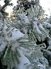 Joyeux Nol - Merry Christmas (monteregina) Tags: winter snow canada cold macro ice nature pine pin crystal hiver pineneedles qubec neige merrychristmas froid glace seasonsgreetings cristaux froheweihnachten joyeuxnol aiguillesdepin monteregina frostedneedles aiguillesgeles crystallizedpine
