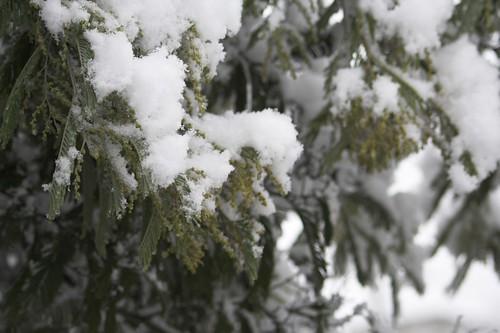 mimosa enneigé