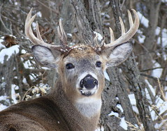 Whitetail Deer non typical rack (westfortwarbler) Tags: buck whitetaildeer nontypical