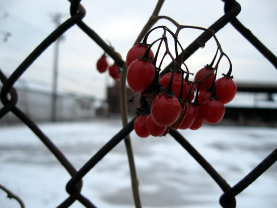 Berries on Fence (Click to enlarge)