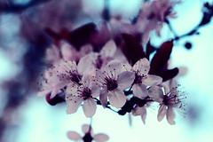 90/365 - Cherry Blossom (fionaandneil) Tags: pad crossprocessing cherryblossom padmar2009