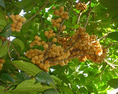 Golden Fruit (mag-uuma (back from a looong lay-off from flickr)) Tags: lanzones