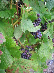 Grapes on the vine at Denbies (cornpattbuck) Tags: lego wine surrey filming denbies jamesmay surreylife