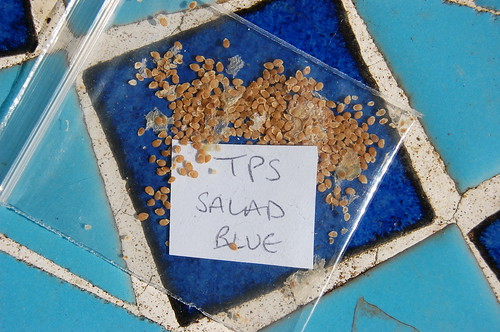 True potato seed, Salad Blue
