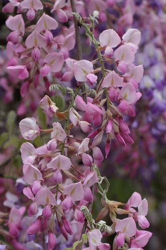ほんのり薄紅の藤 / Lovely wisteria