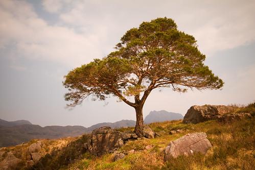 maree pine.