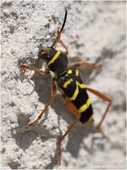 Cerambycidae - Clytus arietis