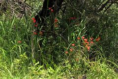 Kleinia fulgens (zimbart) Tags: africa flowers zimbabwe asteraceae kleinia kleiniafulgens matobonationalpark