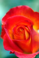 rose (ddsnet) Tags: plant flower rose sony hsinchu taiwan   700          700 eighteenpeaksmountain