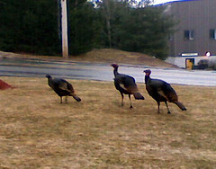 Turkeys31208