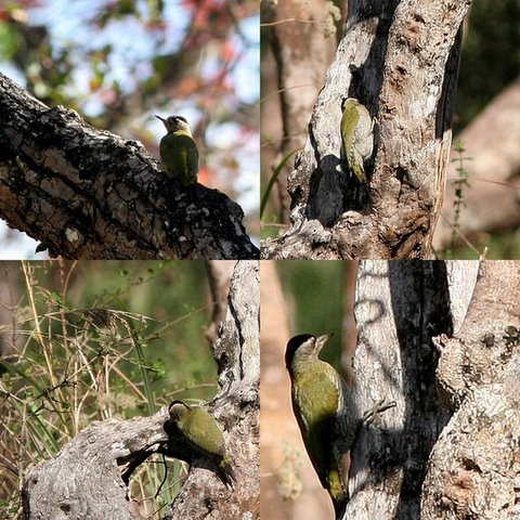 streak-throated/scaly-bellied woodpecker collage kgudi brhills jlr 180308