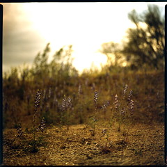 sparsely populated (whickus) Tags: flowers sky slr 120 6x6 film mediumformat gold purple radiation nuclear slide bronica ii 200 epson agfa e6 f28 rsx 80mm v700 sqai whickus zenzanons expired1207