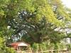 竹山鎮中和里救人老茄苳樹DSCN6026