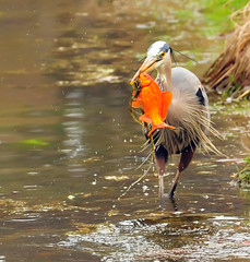 Heron + Koi=No more Koi...Part Two of Three (ozoni11) Tags: fish bird heron nature birds animal animals fishing pond nikon wetlands koi ponds greatblueheron herons wetland d300 greatblueherons animaladdiction michaeloberman ozoni11 avianexcellence