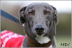 O'Connor vom Monarchenhügel Greyhound - Foto H.Dietz, Windhundzeitung