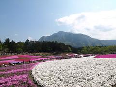Shibazakura /  Moss Pink