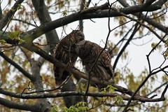 IMG_2510 (jnealy) Tags: owl barred