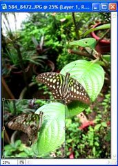 Butterfly collage tutorial - selection border dragged into collage and resized