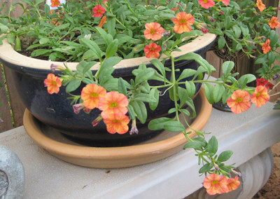 Orange Superbell flowers