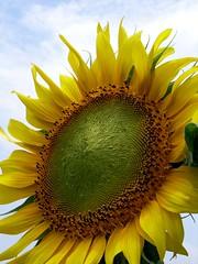 Sun flower@百万葵园