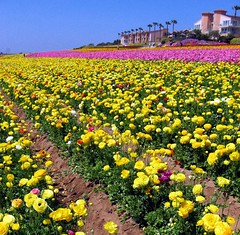 Yellow Harvest, Carlsbad, California (moonjazz) Tags: california pink flowers nature beauty field yellow sandiego harvest rows commercial crop agriculture carlsbad daytrip amirillo raniculous