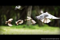 :: Follow ::  Pigeon & Sparrows (*Yueh-Hua 2013) Tags: park bird canon eos fly dof bokeh pigeon dove air taiwan follow taipei   daanforestpark sparrows  daan  30d         firstquality inthesky      canoneos30d horizontalphotograph canonef70200mmf4lisusm is l   flytosky 2008may