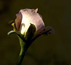 Rose (Dharanendra Momaya/VU2DHA) Tags: flowers india macro tirupur extensiontubes tamaron momaya nikond40 pratibimbsangli tamaronlenses
