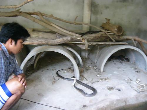 samui snake farm-サムイスネークファーム0023