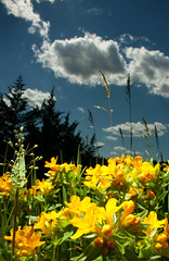 Bee's-eye view. (Patillac13) Tags: flowers blue sky yellow clouds flash wireless 18mm adobelightroom strobistcom canonxti400d sunpak433d cactusv2s