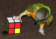 Tricky tricky... (Snefa) Tags: playing bird toy play think parrot cube thinking rubiks rubikscube solve pjakkur