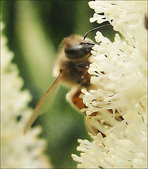 Honey Bee on Fly Poison