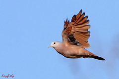 (#236) Small And Reddish (tinyfishy) Tags: bird flying inflight dove ground panama gamboa ruddy naturesfinest code3 ruddygrounddove abigfave goldstaraward
