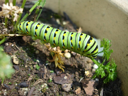 This Anise Swallowtail Caterpillar will metamorphose into a beautiful large black butterfly with tails and yellow spots.